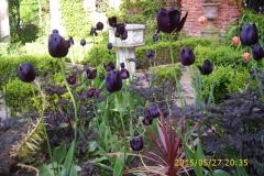 Pupurbeet mit Tulpe Queen of Night-min