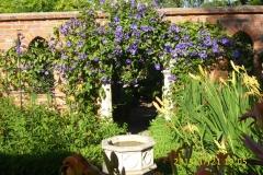 Clematis Perle d'Azur im Klostergarten-min
