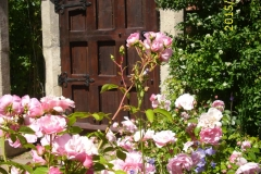 Rose Bonica im Klostergarten-min