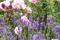 Rose Bonoca, Lavendel und Allium-min